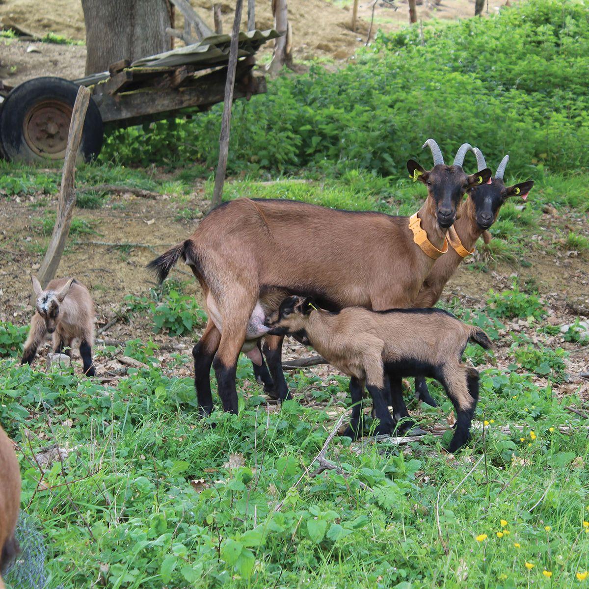 Pâture des chèvres de la Chèvrerie des coteaux
